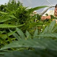 Paul Stanford tending to his THCF award winning medical marijuana garden